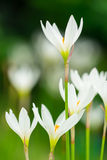 Zephyranthes candida Herb Royalty Free Stock Image