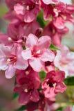 Zephyranthes florece el primer Imagen de archivo