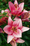 Zephyranthes flower. Common names for species in this genus include fairy lily, rainflower, zephyr , magic , Atamasco , and rain Royalty Free Stock Images