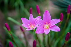 Zephyranthes grandiflora immagine stock