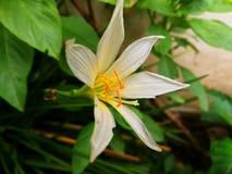 Zephyranthes grandiflora Images stock