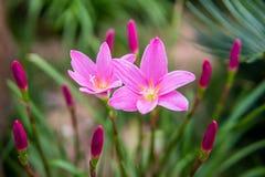 Zephyranthes grandiflora Zdjęcie Stock