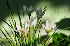 Zephyranthes grandiflora flower Stock Photography