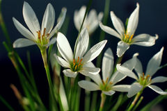 Zephyranthes Grandiflora Flower Stock Photography