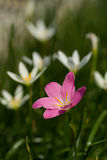 Zephyranthes grandiflora flower Royalty Free Stock Photos