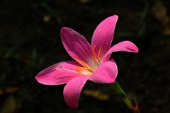 Zephyranthes grandiflora pink blossoming in nature. stock photos