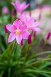 Zephyranthes grandiflora Stock Images