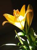 Zephyranthes lelui kwiat Pospolici imiona dla gatunków w ten genus zawierają czarodziejkę, rainflower, zephyr, magia, Atamasco, m Zdjęcia Stock