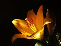 Zephyranthes lelui kwiat Pospolici imiona dla gatunków w ten genus zawierają czarodziejkę, rainflower, zephyr, magia, Atamasco, m Obraz Stock