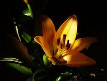 Zephyranthes lelui kwiat Pospolici imiona dla gatunków w ten genus zawierają czarodziejkę, rainflower, zephyr, magia, Atamasco, m Obrazy Stock