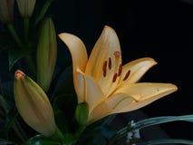 Zephyranthes lelui kwiat Pospolici imiona dla gatunków w ten genus zawierają czarodziejkę, rainflower, zephyr, magia, Atamasco, m Zdjęcie Royalty Free