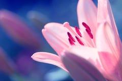 Zephyranthes lelui kwiat Pospolici imiona dla gatunków w ten genus zawierają czarodziejskiej lelui, rainflower, zephyr leluja, ma Zdjęcia Stock