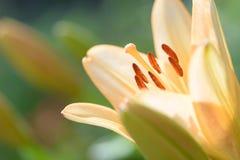 Zephyranthes lelui kwiat Pospolici imiona dla gatunków w ten genus zawierają czarodziejskiej lelui, rainflower, zephyr leluja, ma Obraz Royalty Free
