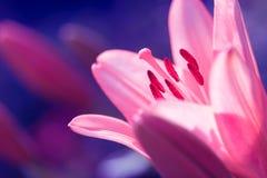 Zephyranthes lelui kwiat Pospolici imiona dla gatunków w ten genus zawierają czarodziejskiej lelui, rainflower, zephyr leluja, ma Obraz Stock
