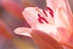 Zephyranthes lelui kwiat Pospolici imiona dla gatunków w ten genus zawierają czarodziejskiej lelui, rainflower, zephyr leluja, ma Zdjęcia Royalty Free