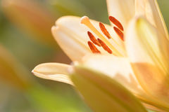 Zephyranthes lelui kwiat Pospolici imiona dla gatunków w ten genus zawierają czarodziejskiej lelui, rainflower, zephyr leluja, ma Obrazy Royalty Free