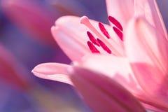 Zephyranthes lelui kwiat Pospolici imiona dla gatunków w ten genus zawierają czarodziejskiej lelui, rainflower, zephyr leluja, ma Fotografia Stock