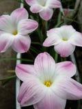 Zephyranthes 'leluja kulebiaki Zdjęcie Royalty Free