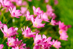 Zephyranthes-Lilie, Regen-Lilie, feenhafte Lilie Lizenzfreies Stockbild