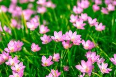 Zephyranthes-Lilie, Regen-Lilie, feenhafte Lilie Lizenzfreie Stockfotos