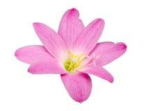 Zephyranthes-Lilie, Regen-Lilie, feenhafte Lilie, kleines Hexenisolat Stockbilder
