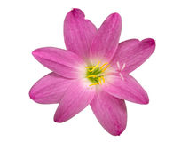 Zephyranthes-Lilie, Regen-Lilie, feenhafte Lilie, kleines Hexenisolat Stockfotografie