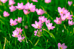 Zephyranthes lilja, regnlilja, felik lilja Royaltyfria Foton
