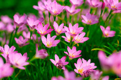 Zephyranthes Lily, Rain Lily, Fairy Lily Stock Photography
