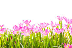 Zephyranthes Lily, Rain Lily, Fairy Lily, Little Witches Stock Photos