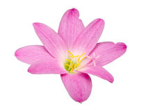 Zephyranthes Lily, Rain Lily ,Fairy Lily, Little Witches isolate Stock Images