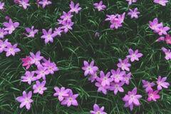 Zephyranthes menchii grandiflora kwiaty lub Czarodziejska leluja obrazy stock
