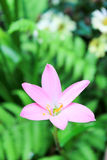 Zephyranthes minuta花 免版税图库摄影