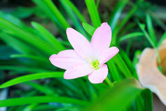 Zephyranthes minutablomma Royaltyfria Foton