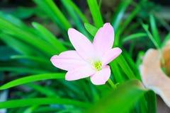 Zephyranthes minuty kwiat Zdjęcia Royalty Free