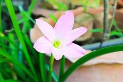 Zephyranthes minuty kwiat Obraz Royalty Free