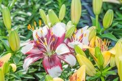 Zephyranthes no jardim Imagem de Stock