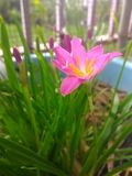 Zephyranthes. Pink Rain Lily in garden Royalty Free Stock Images