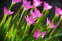 Zephyranthes rosado, fondo de hadas de la flor del lirio Foto de archivo