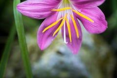 Zephyranthes-rosea, allgemein zephyrlily bekannt als der Kubaner, rosig stockfotos