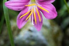 Zephyranthes-rosea, allgemein zephyrlily bekannt als der Kubaner, rosig stockfotografie