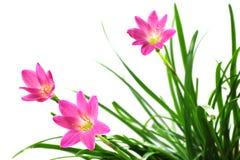 Zephyranthes rosea Stock Photos