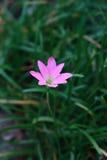 Zephyranthes sp Royaltyfri Bild