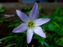 Zephyranthes sp (Regnlilja) Arkivfoto