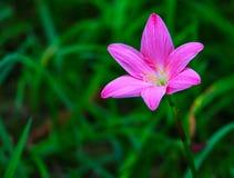 Zephyranthes spp桃红色绽放 免版税库存照片