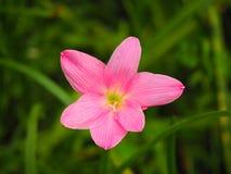 Zephyranthes spp Imagen de archivo libre de regalías
