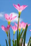 Zephyranthes spp. Blume gegen blauen Himmel stockfotografie