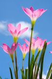 Zephyranthes spp. flower against blue sky Stock Photography