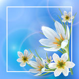 Zephyranthes spring. Beautiful spring background with flowers of Zephyranthes. Can be used to design greeting cards, announcement spring sale royalty free illustration