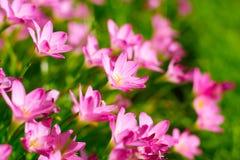 Zephyrantheslelie, Regenlelie, Feelelie Royalty-vrije Stock Afbeelding