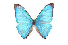 Zephyrius azul de Morpho de la mariposa aislado Imagen de archivo